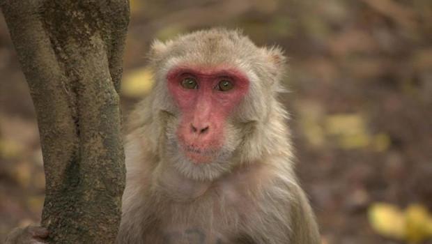 ep mono macaco rhesus hembra