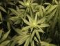 en-mission-des-pompiers-trouvent-1000-plans-de-cannabis