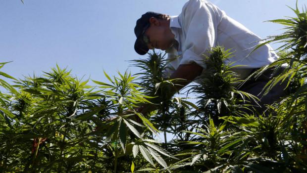 plantacion-cannabis-libano