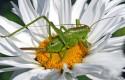 insectos, bichos, saltamontes